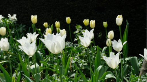 White tulips with yellow tulips behind at Dunsborough Park.
