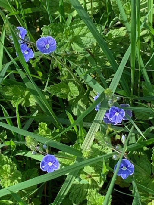 Delicate blue Speedwell flowers.