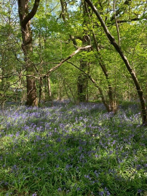A carpet of Bluebells under young trees.