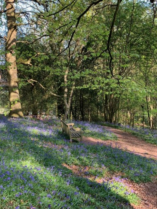 A magnificent carpet of Bluebells in a wooded area, with a bench to sit on.