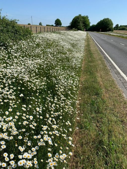 Verge along the A24 showing the Moondaisies, but the strange 1m mowed edge.