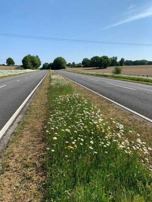 Showing the central reservation of the A24, with the Moondaisies and a 1m mown band either side.