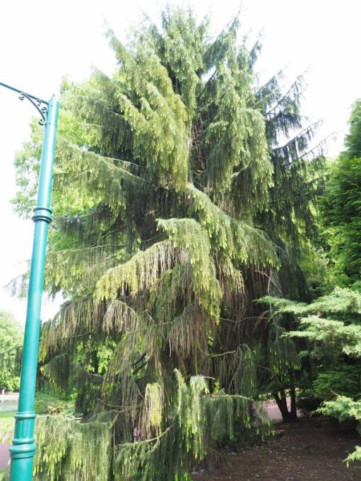 Tree in West Park, Wolverhampton. It is Spruce or Pine-like, with tassle type leaves.