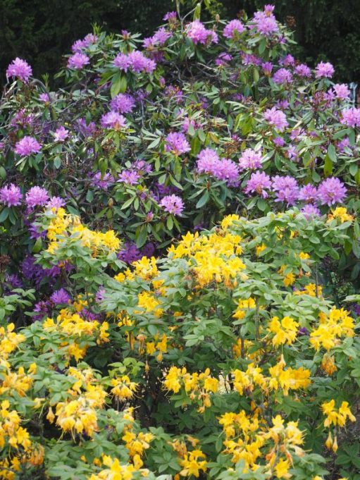 Purple Rhododendron and Yellow Azalea.