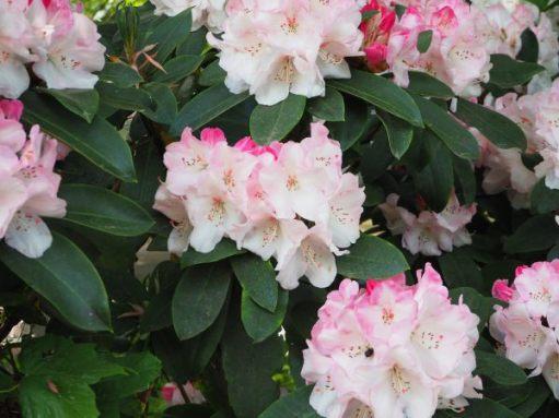 Ornamental Rhododendron.