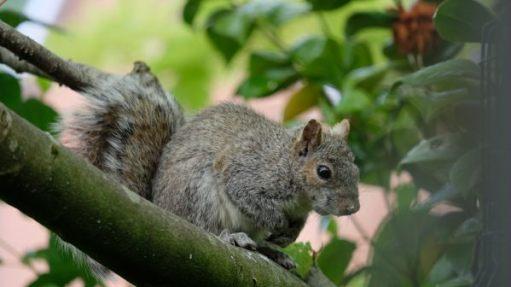 Grey Squirrel sat on a branch.