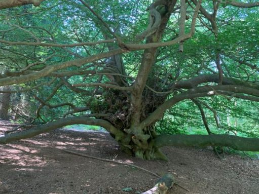 Witches Broom Tree.