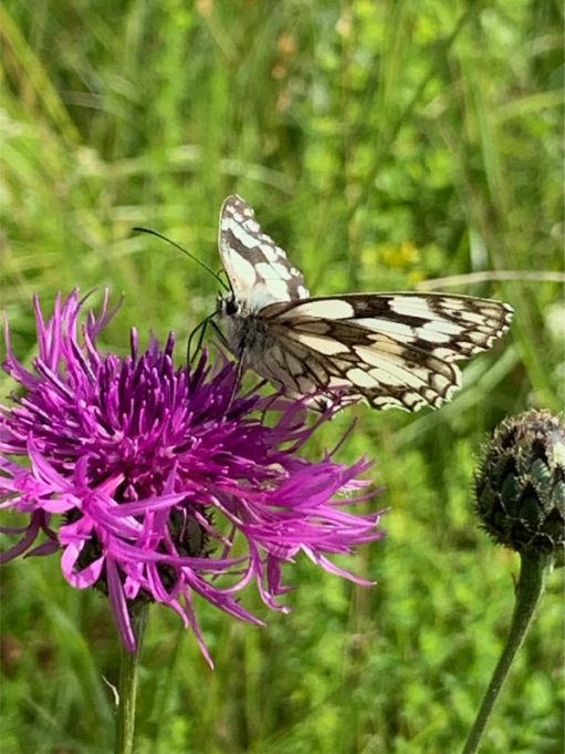 First Marbled White on a Thistle.