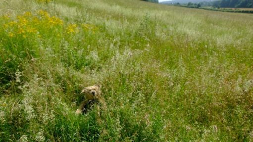 Bertie sat in and almost hidden by the long grasses in the meadow.