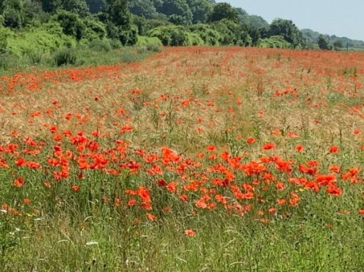 Field of glorious red poppies.