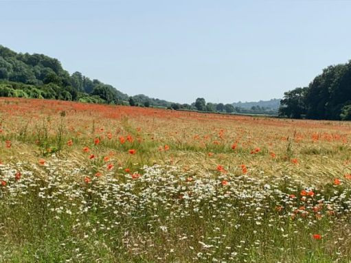 Poppy field bordered by Moon Daisies.
