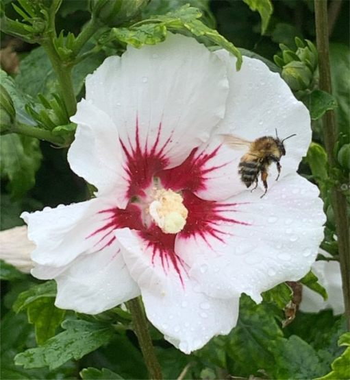 Hibiscus. Plus damp Bee.