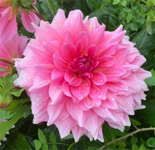 Very wet and beautiful Dahlia.