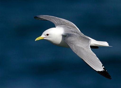 Kittiwake in flight over the sea.
