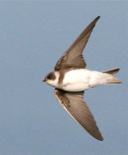 Sand Martin in flight, viewed from underneath.