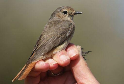 Common Redstart.