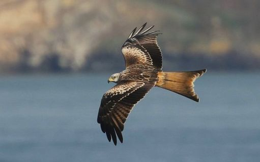 Red Kite with Skomer in the background.