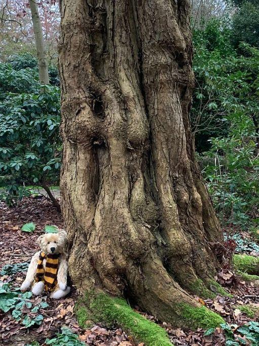 Bertie sat against a gnarly old Katsura tree.