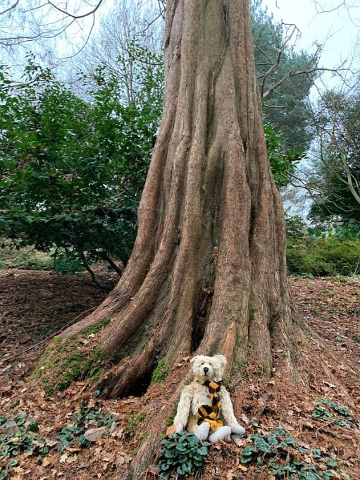 Bertie at the base of a Dawn Redwood Tree.