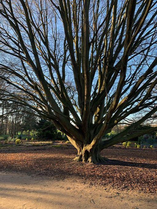 Carpinus Betulus Fastigiata.