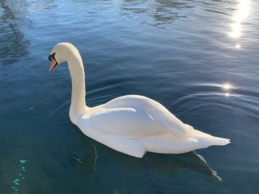 Swan on the blue river.