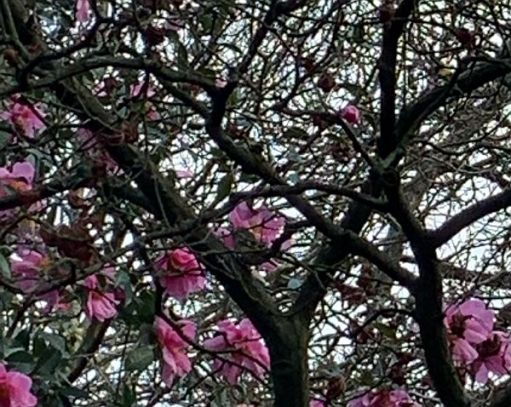 Close up of the Camellia, in which there is a Goldcrest.