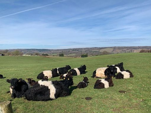 Mums and calves. Belted Galloways laying down in the field.
