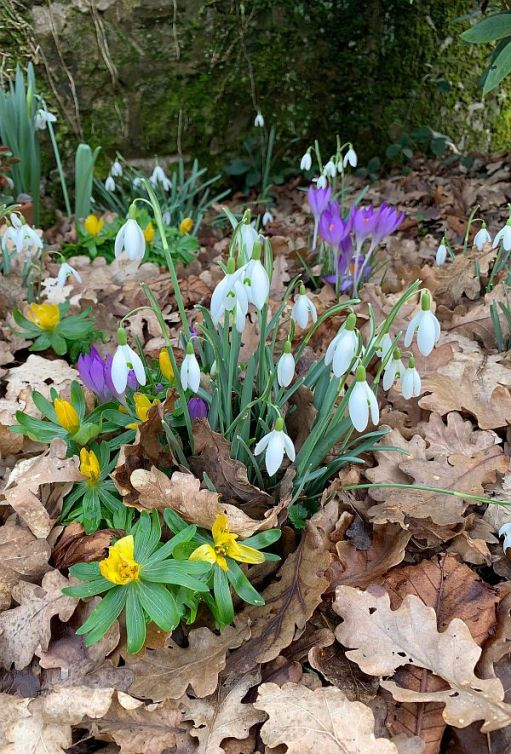Snowdrops and Crocuses in St James Churchyard, Abinger.