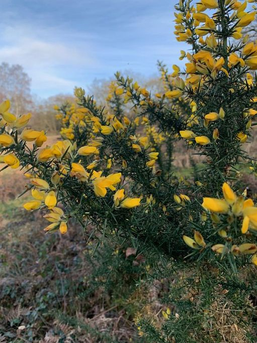 Gorse in flower at Diddley's View,
