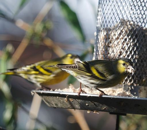 Two male Siskins on the bird feeder.