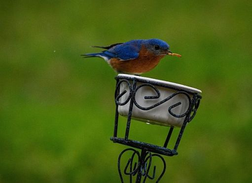 A Bluebird with a blue head, back and wings and brown chest sat on a dish with a Mealworm in its mouth.