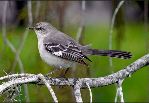 Side profile of a Mockingbird - in its beautiful greys, black and white.
