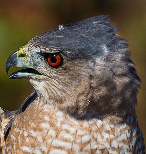 Head of a Cooper's Hawk.