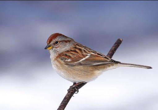 American Sparrow.