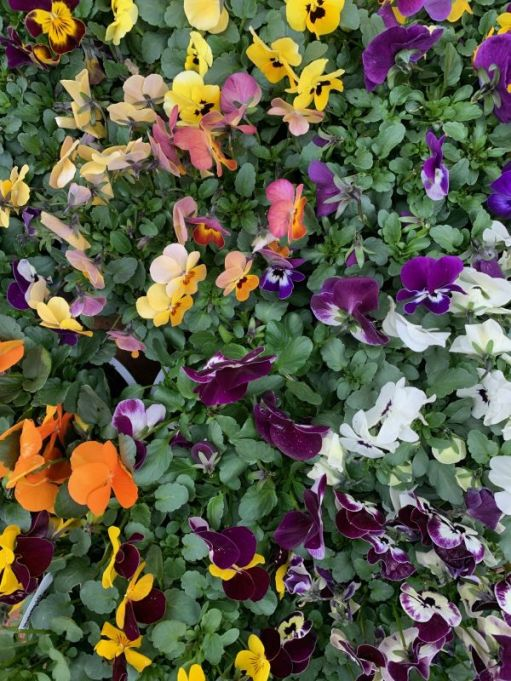 Covid-19 Reflection: Lots of Colourful Violas