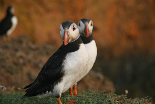 A pair of Puffins.