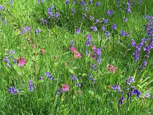 Dusky pink and blue wild flowers.