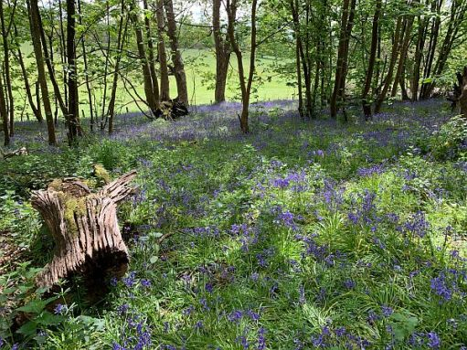 Carpet of Bluebells with a line of trees in the distance and a felled stump in the foreground.