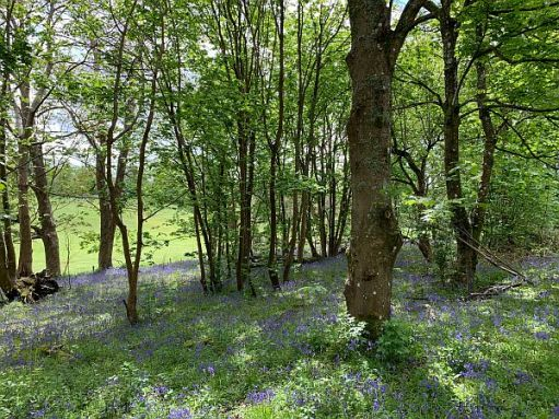 Trees in a carpet of Bluebells.