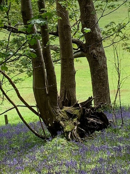 A gnarly tree root in a carpet of Bluebells.