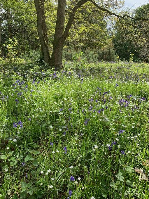 Blue and White flowers creating a wildflower meadow.