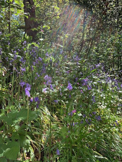 Light streaming through the trees onto the Bluebells and Daisies.