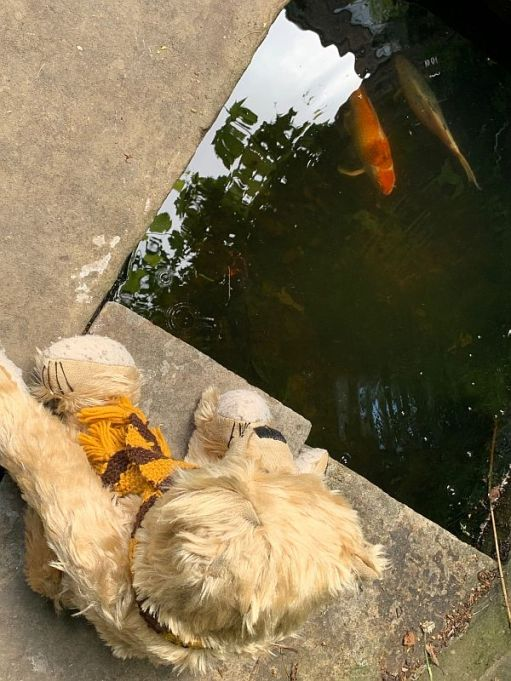 Bertie looking at a Koy Carp in the fish pond at 31 Fournier Street.