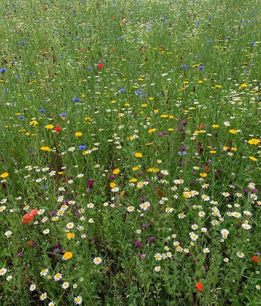 Wildflower Meadow at Wisley.