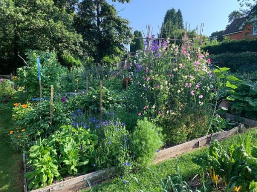 Just 4 feet wide by 14 feet long. From left to right, Rudbeckia, Cornflowers, Nigella, Sweet Peas, a self-sown Sunflower and more Rudbeckias.