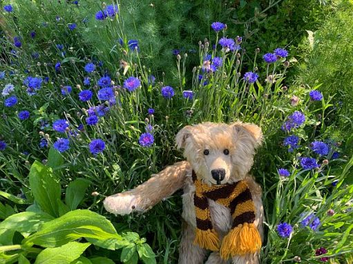 Bertie sat amongst the Cornflowers and Nigella.