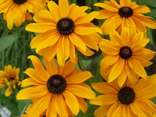 Rudbeckias will flower soon and continue for weeks. They are wonderful cut flowers (last year's picture).
