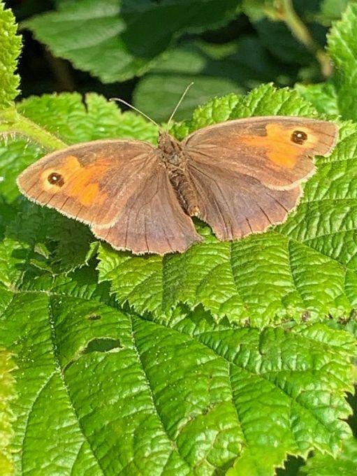 Meadow Brown Butterfly.