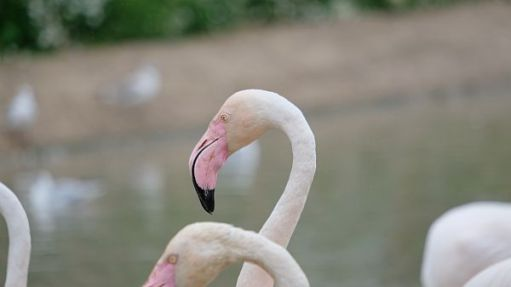 Close up of a Flamingo's bill.