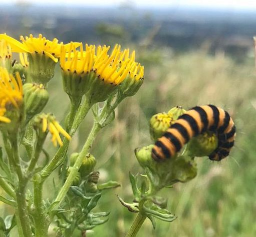 And here is a Striped Caterpillar feeding on its favourite food plant. Ragwort. The Cinnabar Moth.